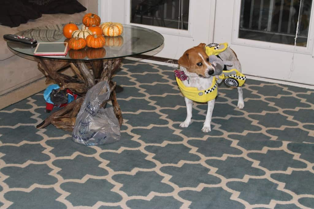 Dog hates taxi cab costume - charleston crafted