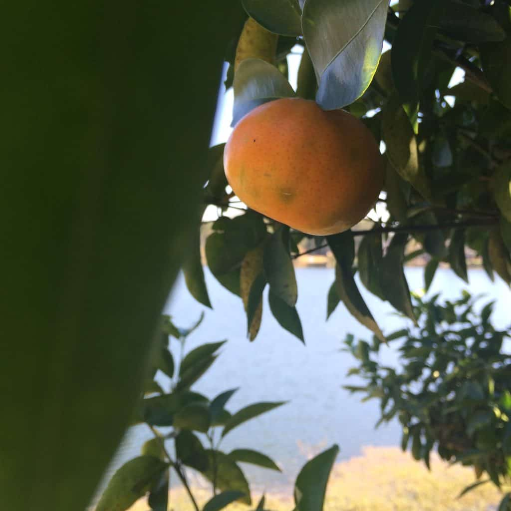 Our Orange Tree - Charleston Crafted