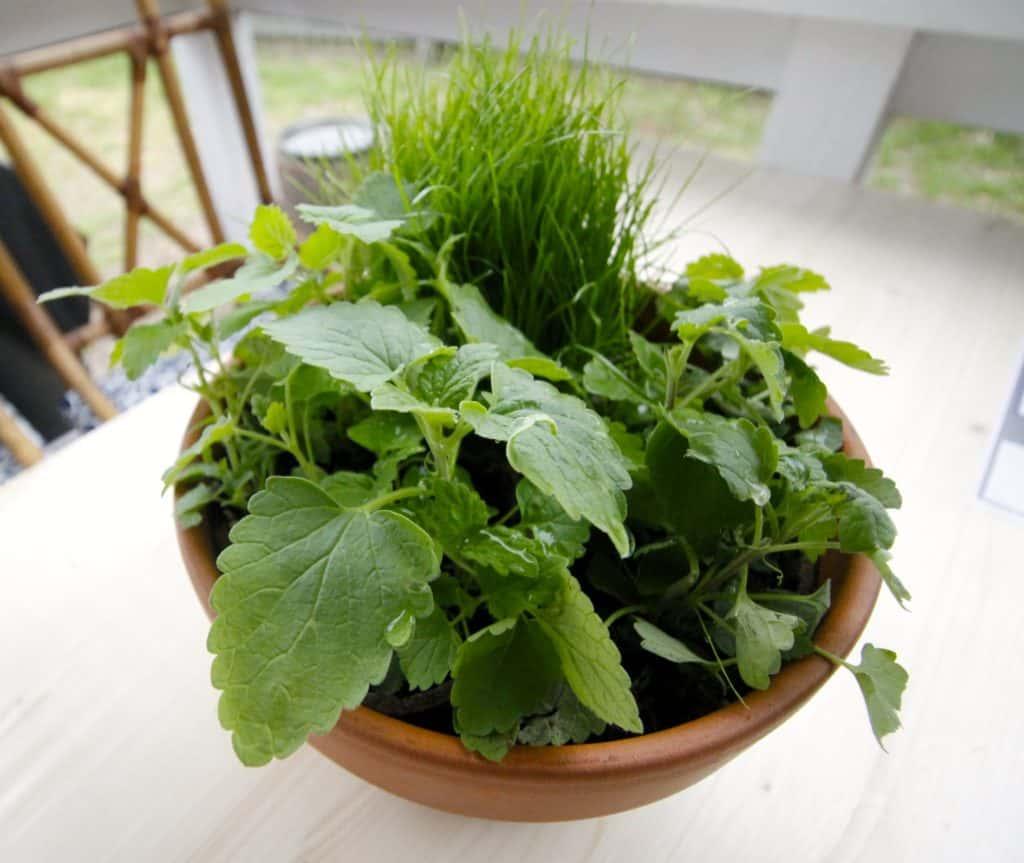DIY Pet Grass & Cat Nip Cat Garden - Charleston Crafted