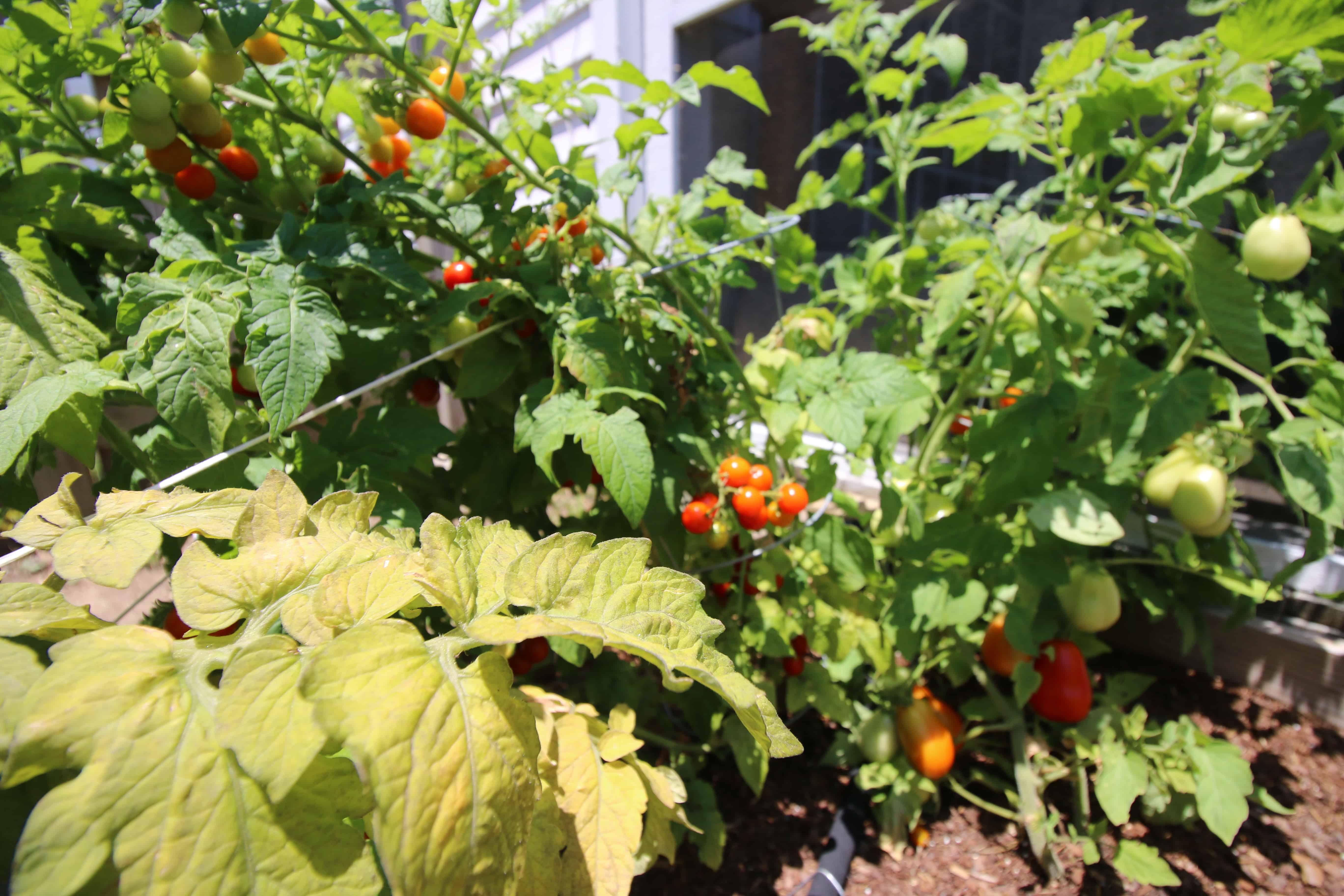 TOMATO Garden Update - Charleston Crafted