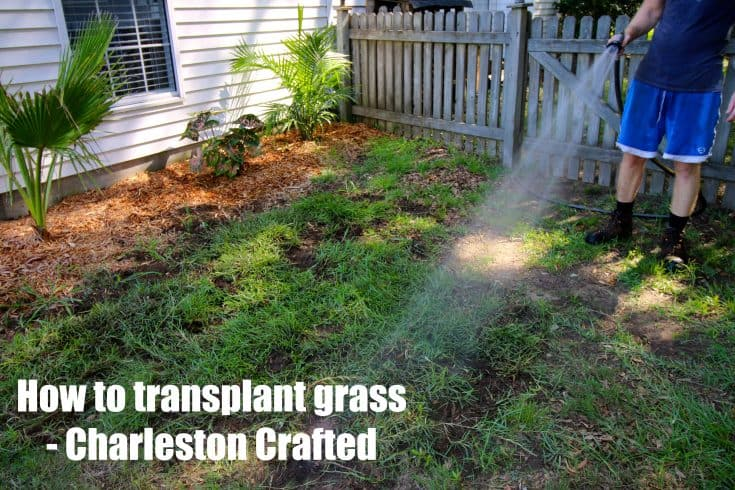 How to transplant grass - Charleston Crafted