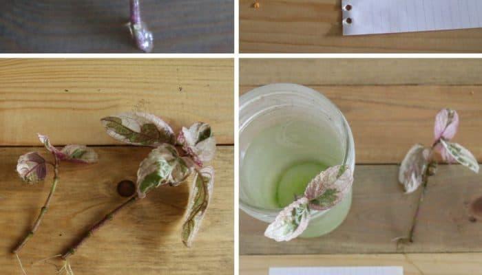 How to propagate waffle plants