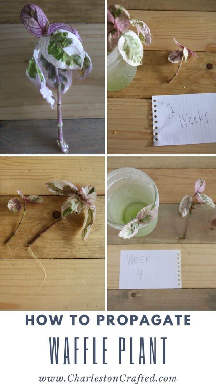 how to propagate waffle plant
