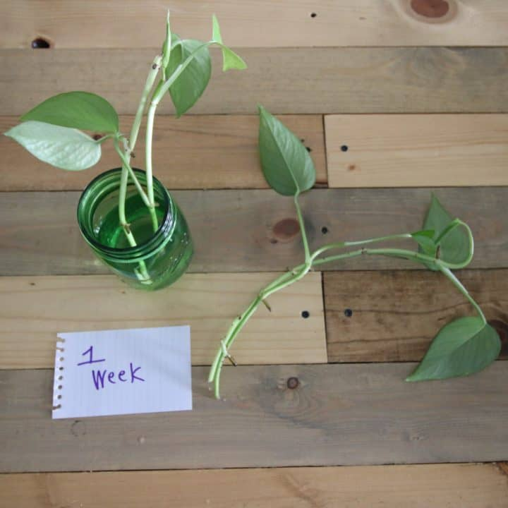 How to propagate plants in water