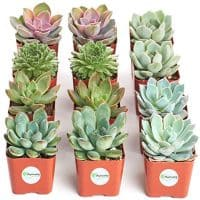 Radiant Rosette Collection of Live Succulent Plants