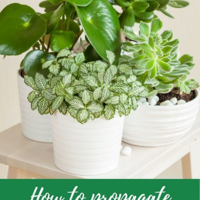 How to propagate a peperomia