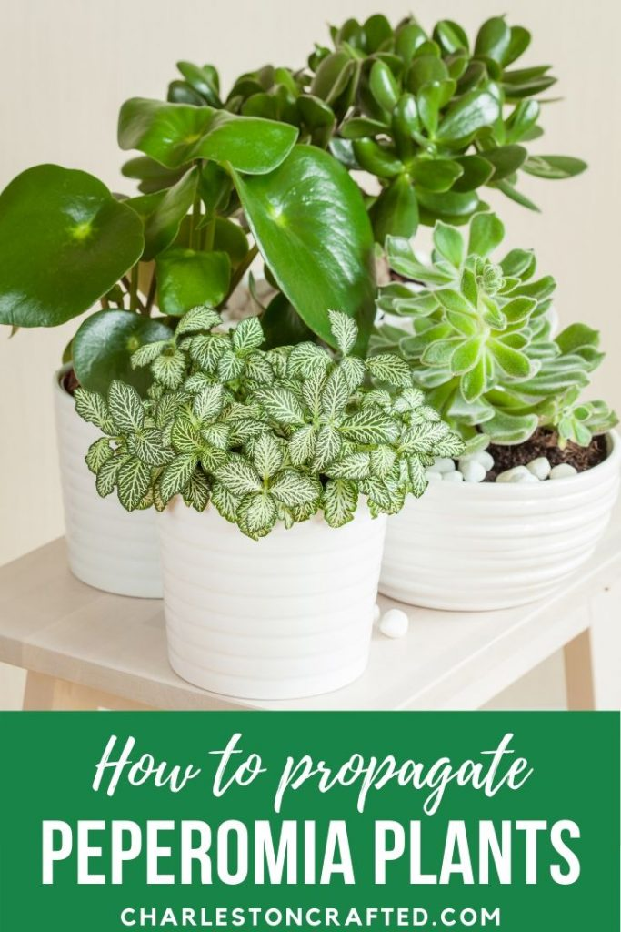 how to propagate peperomia plants