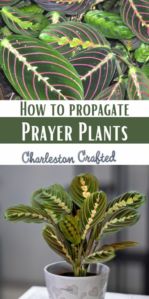 how to propagate prayer plants in water