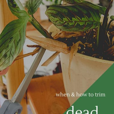 How to trim dead plant leaves