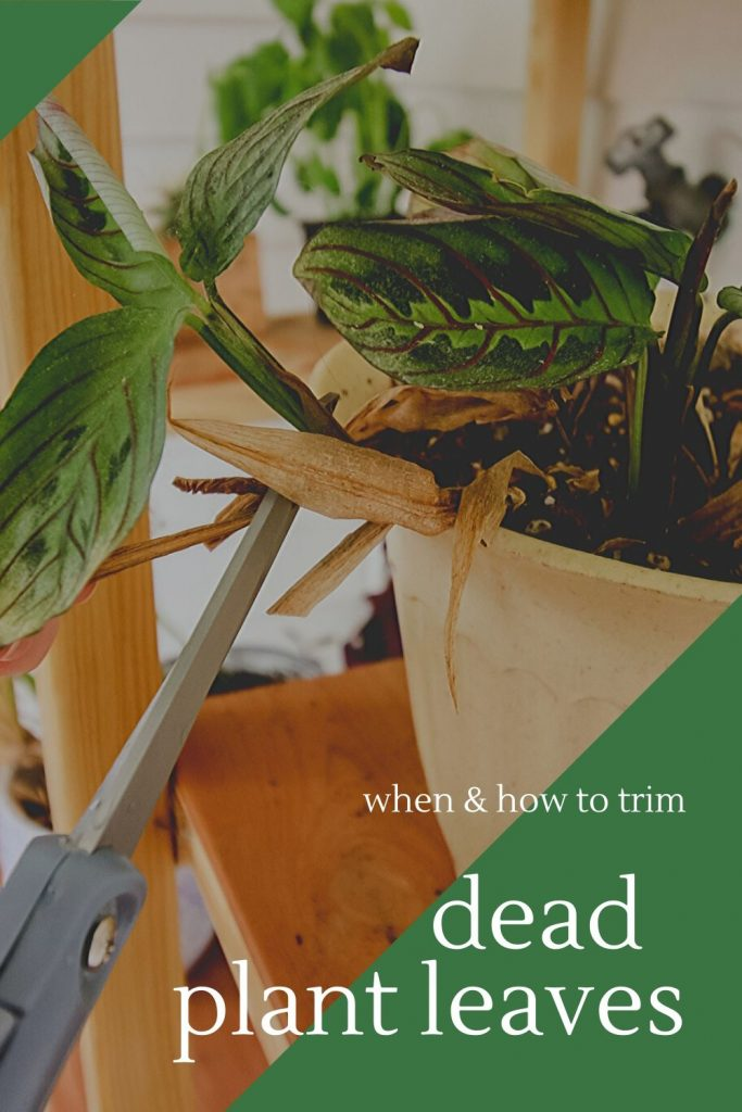 when and how to trim dead plant leaves