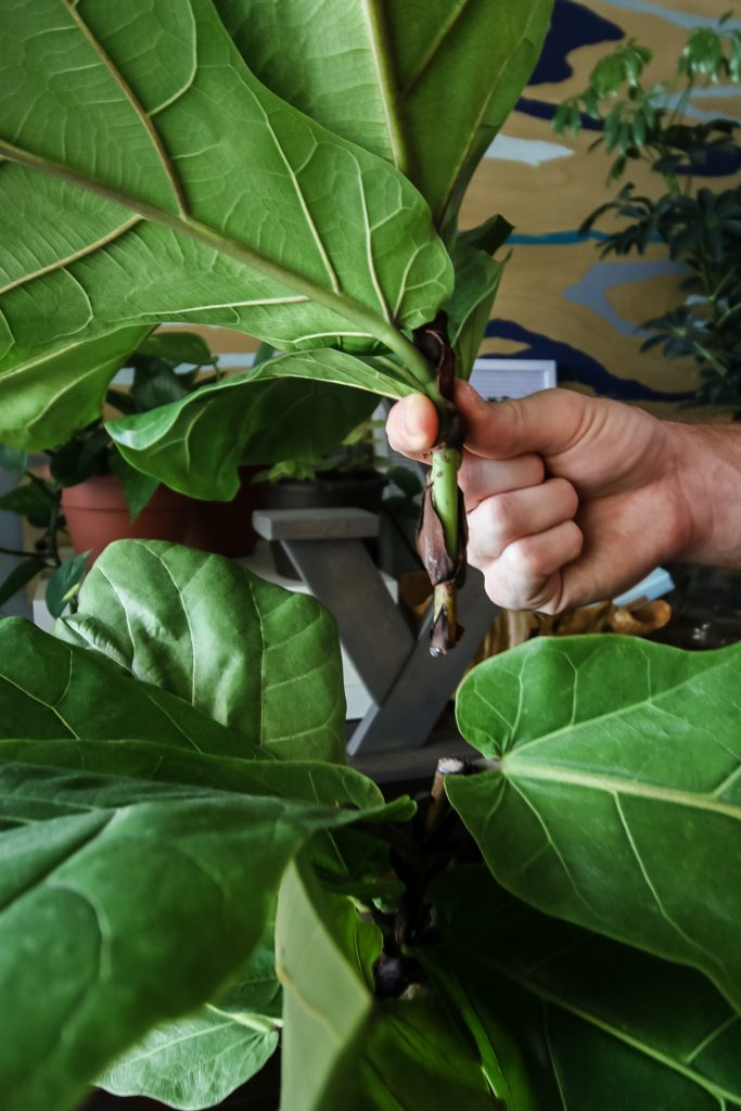 How to propagate a fiddle leaf fig from stem cuttings