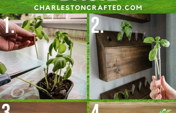 how to propagate basil plants from cuttings