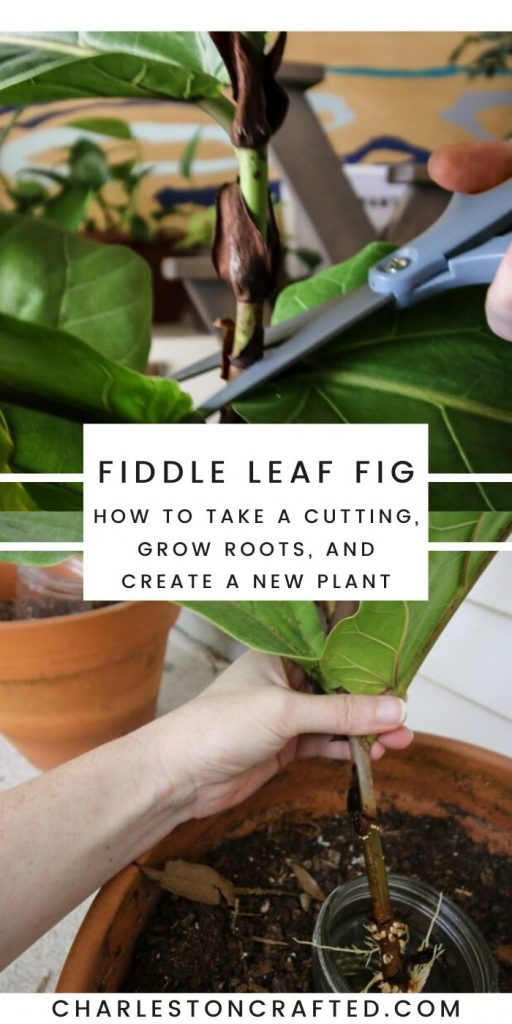 how to propagate a fiddle leaf fig plant from a cutting