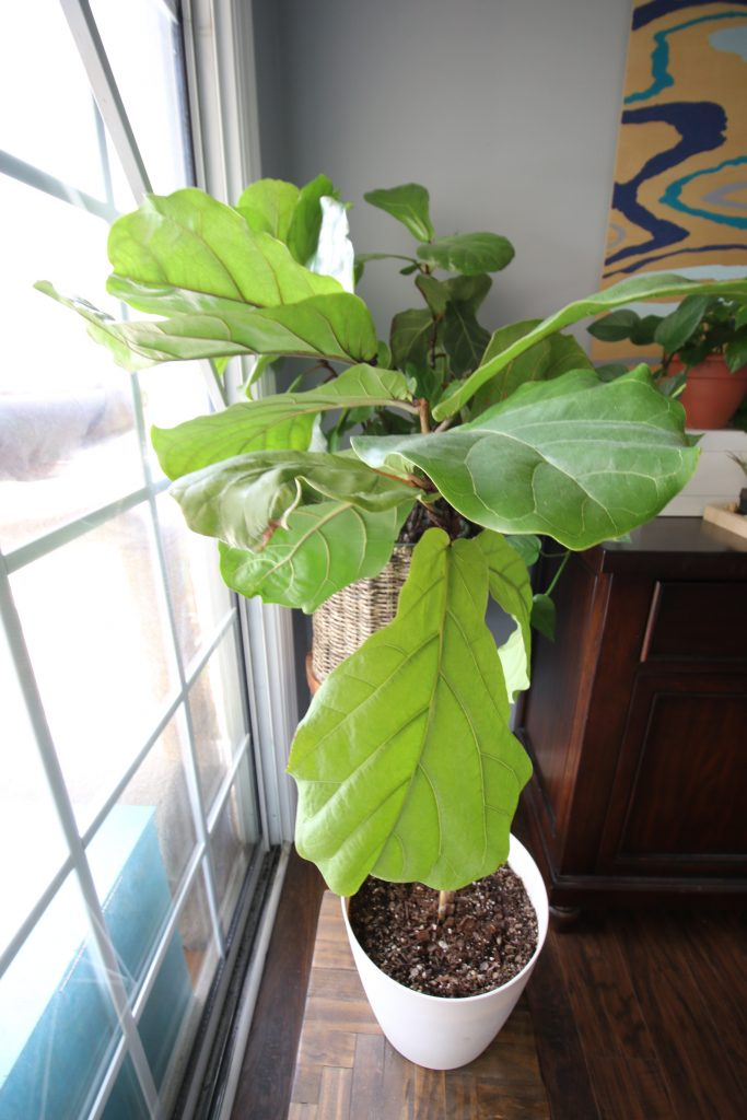 Fiddle leaf fig plant branching after taking cutting