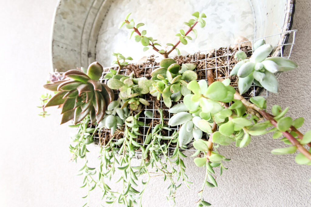 close up of succulent plants in a hanging wall planter