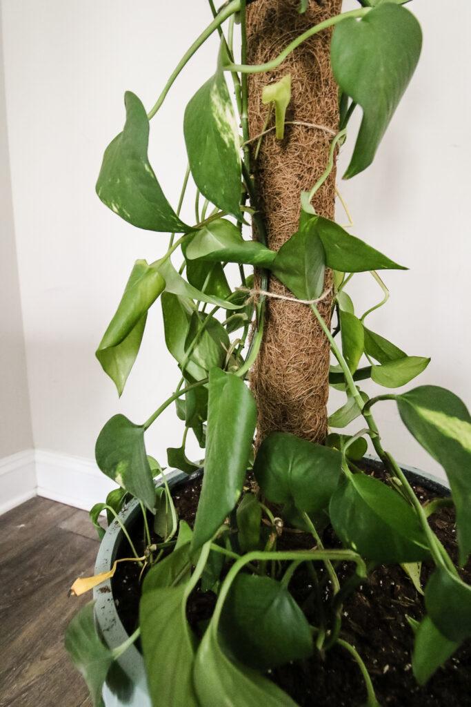 pothos plants tied to a moss pole