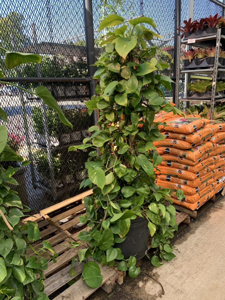 large pothos climbing up a wooden pole