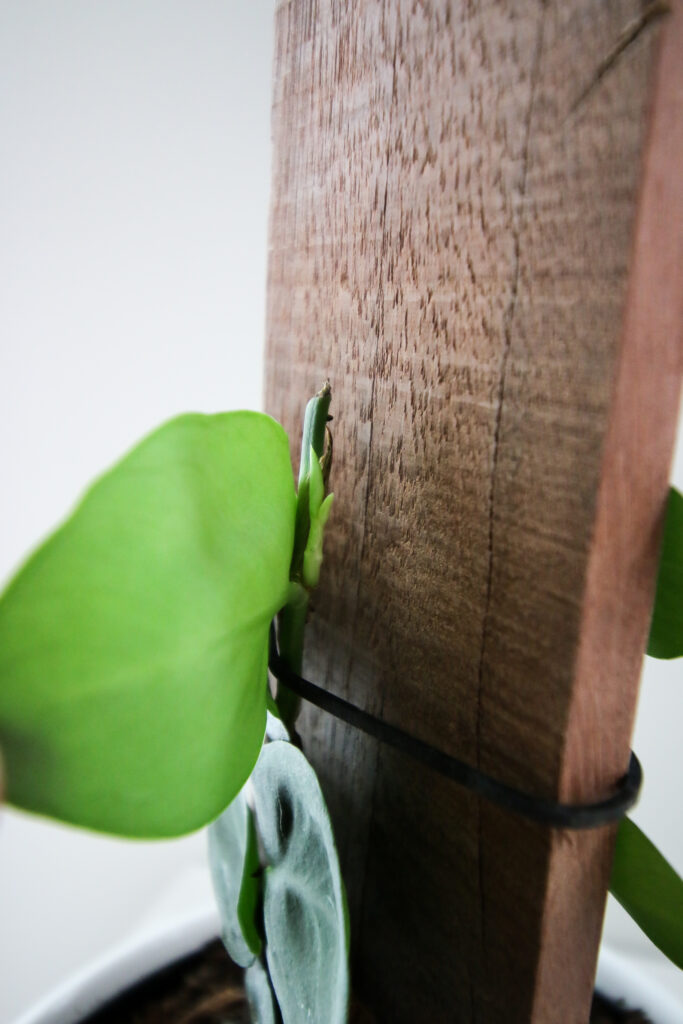new growth after cutting a shingle plant
