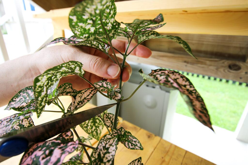 identify a node on a polka dot plant