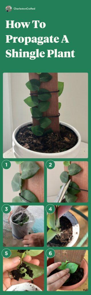 Steps to propagate a shingle plant: