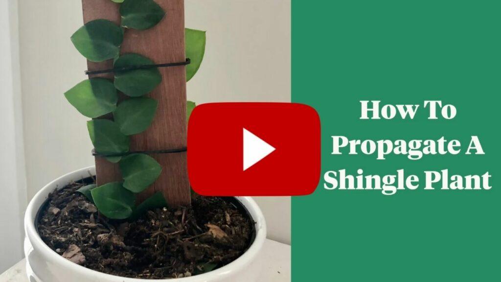how to propagate a shingle plant youtube thumbnail