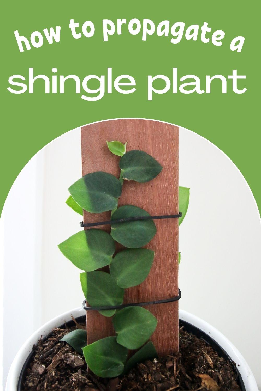 How to propagate a Rhaphidophora Hayi shingle plant