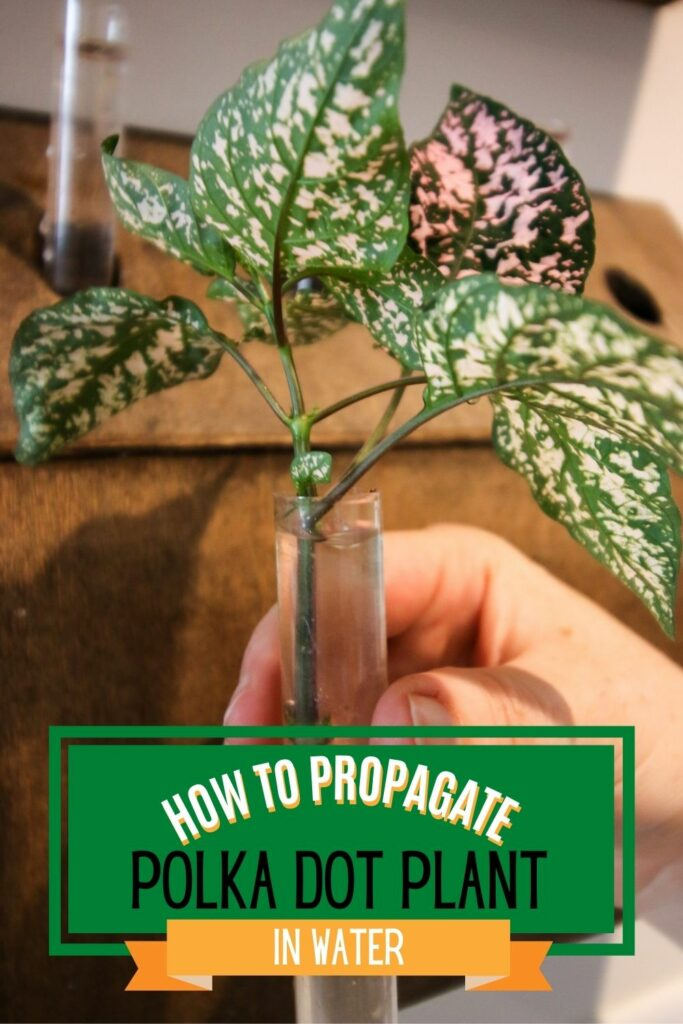 how to propagate polka dot plant in water