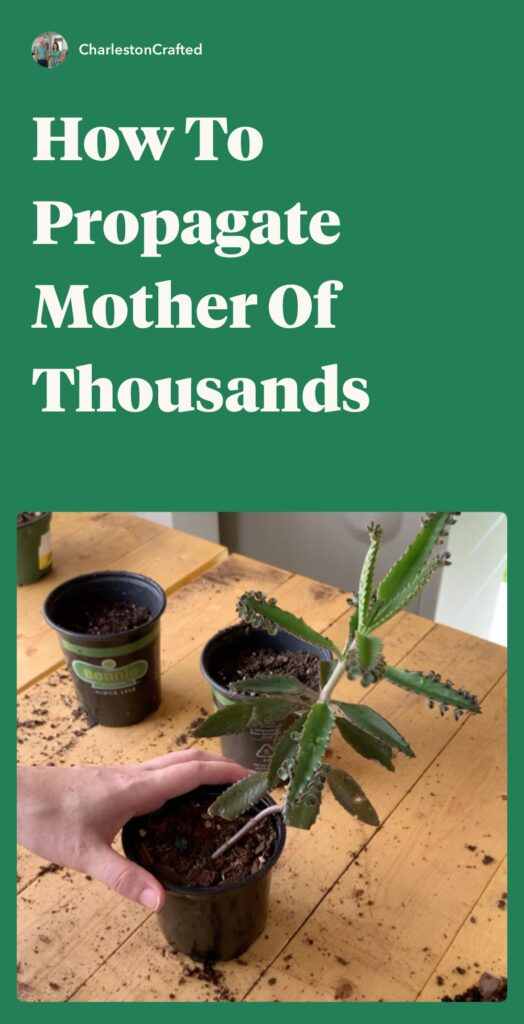how to propagate mother of thousands